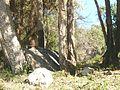 Macaque berbère à Ziama Mansouriah 16 (Algérie).jpg