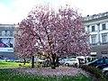 Magnolia liliflora - panoramio.jpg