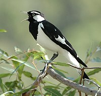 Magpie-Lark male kobble aug06.jpg
