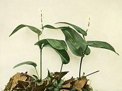 Maianthemum canadense WFNY-019.jpg