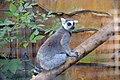 Maki catta (Zoo-Amiens).JPG