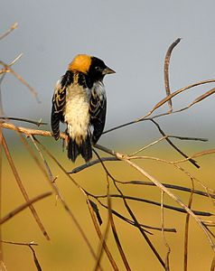 Male Bobolink in Full Breeding Plummage at Lake Woodruff - Flickr - Andrea Westmoreland.jpg