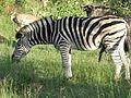 Male Zebra (6836097729).jpg