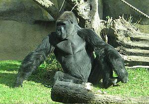 Santa Barbara Zoo - A silverback gorilla