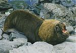 Male southern sea lion.jpg