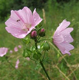 <i>Malva moschata</i> species of plant