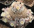 Mammillaria duwei mMd.jpg