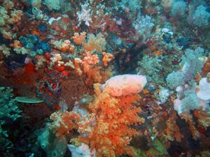 Bangka Island (North Sulawesi) - Manado Coral Garden, divings in Bangka Island, North Sulawesi