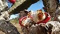Mandacaru (Cereus jamacaru) 02.jpg
