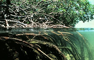 Coastal flood - (Figure 2) Mangroves are one of the coasts natural defense systems against storm surges and flooding. Their high biomass both above and below the water can help dissipate wave energy.
