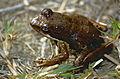 Mantellid Frog (Mantidactylus femoralis) (9657749590).jpg