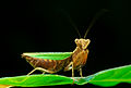 Mantis Ephestiasula sp Luc Viatour.jpg