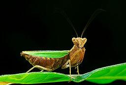 Mantis Ephestiasula sp Luc Viatour