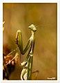 Mantis coqueta - Mantis coquette (3988596490).jpg