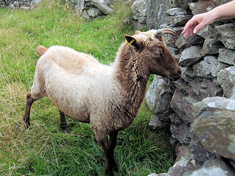 Rare breed (agriculture) - A rare breed Manx Loaghtan sheep at Cregneash, Isle Of Man. There are fewer than 1,500 registered breeding Manx Loaghtan females in the United Kingdom.