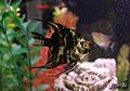 Marble Angelfish.jpg
