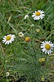 Matricaria chamomilla plant (01).jpg