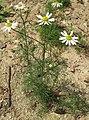 Matricaria chamomilla plant (06).jpg