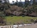 Meadow in hill of Nepal.jpg