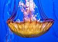Medusa, Monterey Aquarium, California (44343259775).jpg
