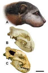 170px-Megalictis.PNG