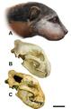 Megalictis.PNG