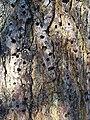 Melanerpes formicivorus-Acorn Storage-2.jpg