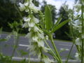 Melilotus albus-leaves.jpg