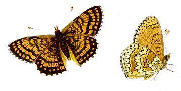 Melitaea cinxia - Wegerich-Scheckenfalter.jpg