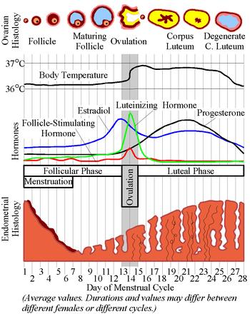 Cycle menstruel et hormonal