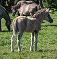 Merfeld, Wildpferdefang -- 2014 -- 0341.jpg