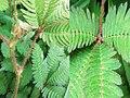 Mimosa pudica (Fabaceae) 06.jpg