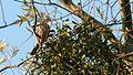 Mistle Thrush (Turdus viscivorus) (6).jpg