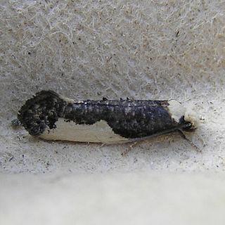 <i>Monopis monachella</i> Species of moth