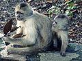 Monos capuchinos.jpg