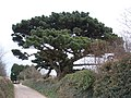 Monterey Pine, near Little Dartmouth - geograph.org.uk - 1188616.jpg