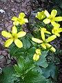 Morgallana (Ranunculus cortusifolius) - panoramio.jpg