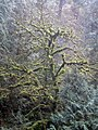 Moss-covered tree, Oregon.jpg