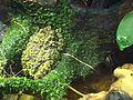 Mossy frog.JPG