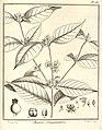 Mouriri guianensis Aublet 1775 pl 180.jpg