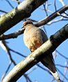Mourning Dove (16538644093).jpg