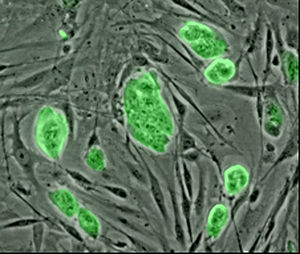 Mouse embryonic stem cells with fluorescent marker.