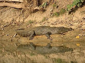 Mugger crocodile - Image: Mugger Chitwan