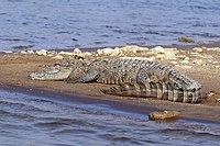 Mugger crocodile (Crocodylus palustris).jpg