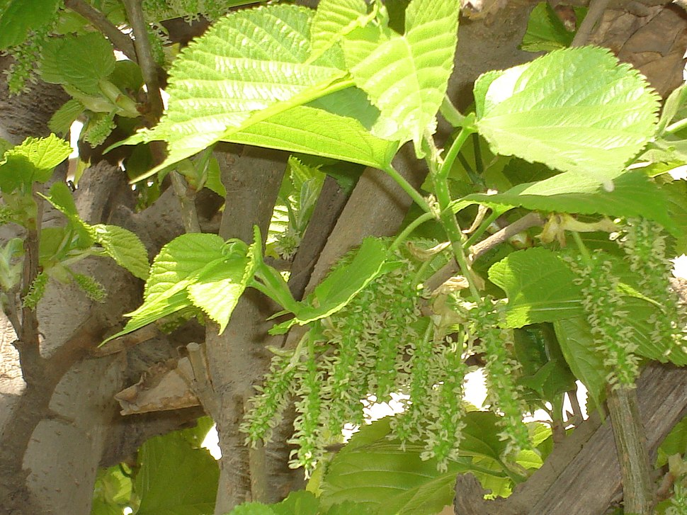 Mulberry Flower Clusters.jpg
