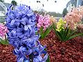 Multicolor hyacinth.jpg