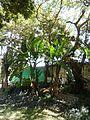 Musa × paradisiaca Linnaeus 1753 - 2013 004.jpg