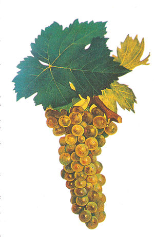 Moscato Giallo - Muscat blanc à Petits Grains, one of the likely parent varieties of Moscato Giallo.