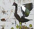 Muscovy Duck (Cairina moschata) male ... (48300658492).jpg