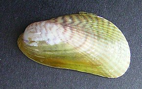 Description de l'image Musculista senhousia (Asian mussel).JPG.
